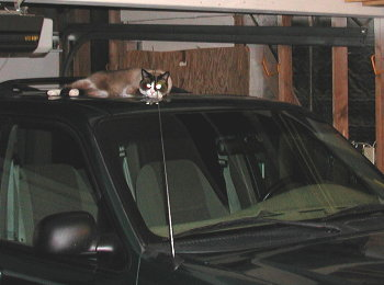 cat atop ford explorer